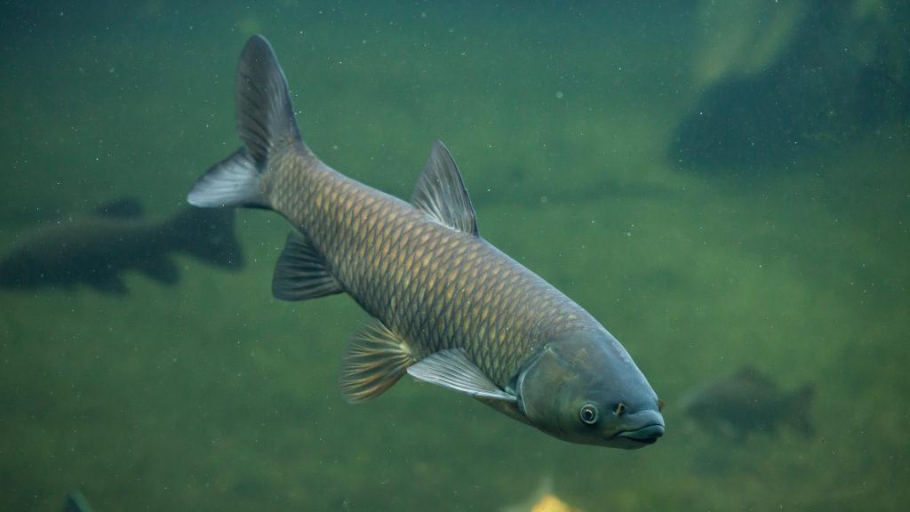 Grass carp (Ctenopharyngodon idella).