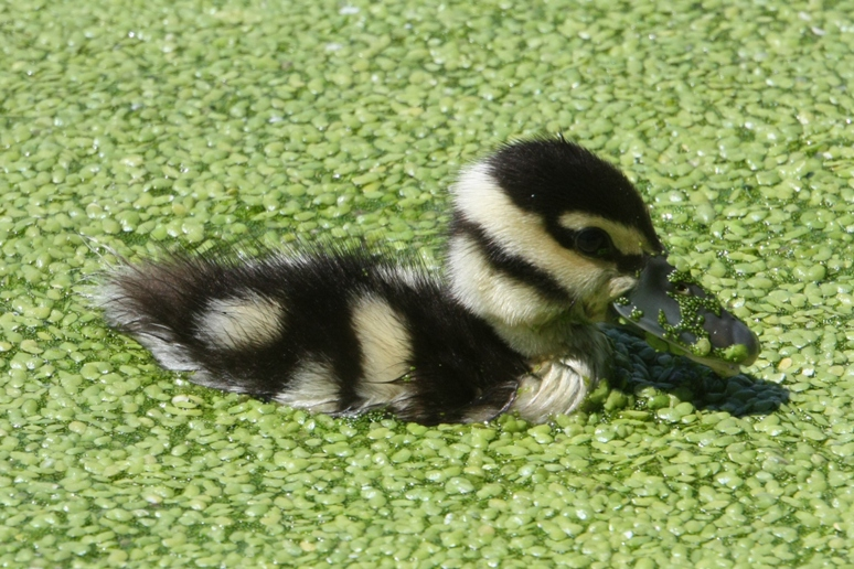 Little Duck eating Duckweed