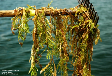 Collection of Pondweed with Rack