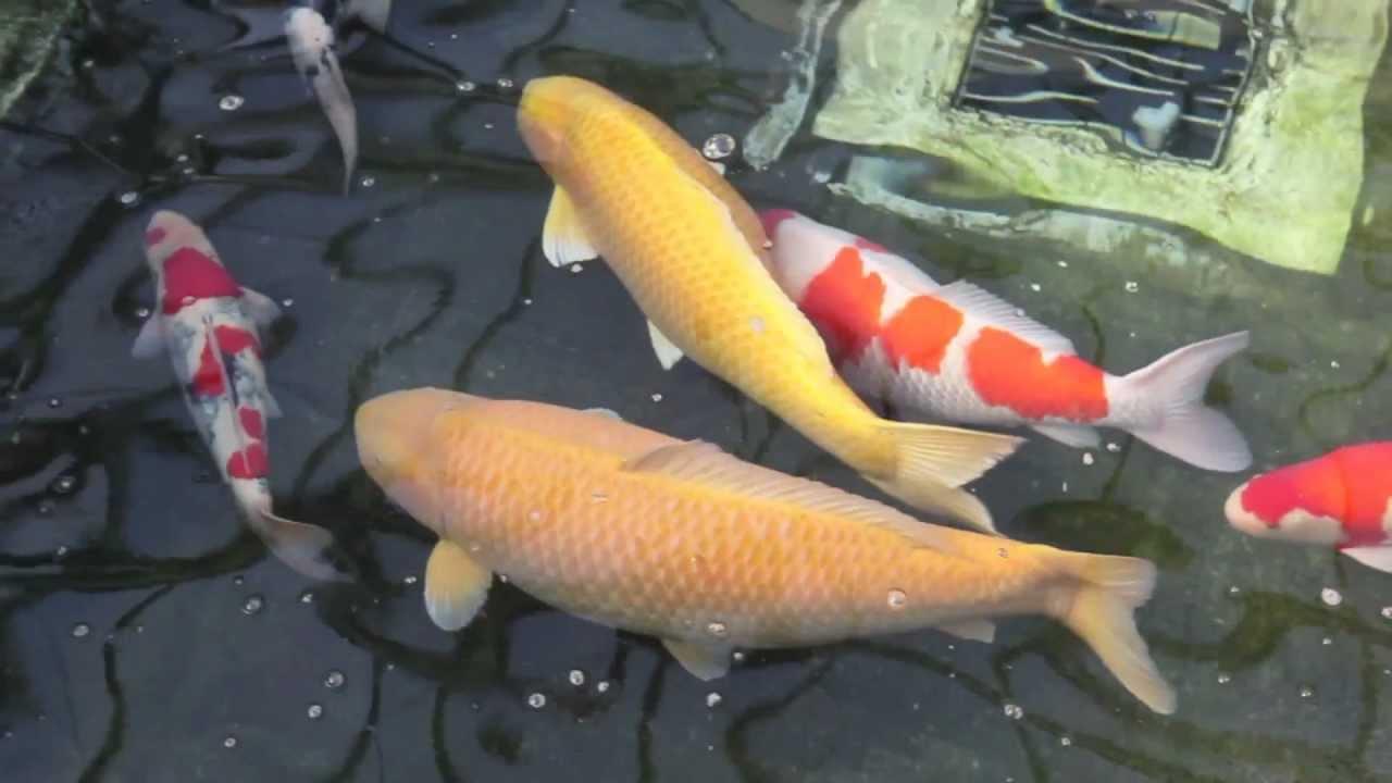 Jumbo Koi Fish