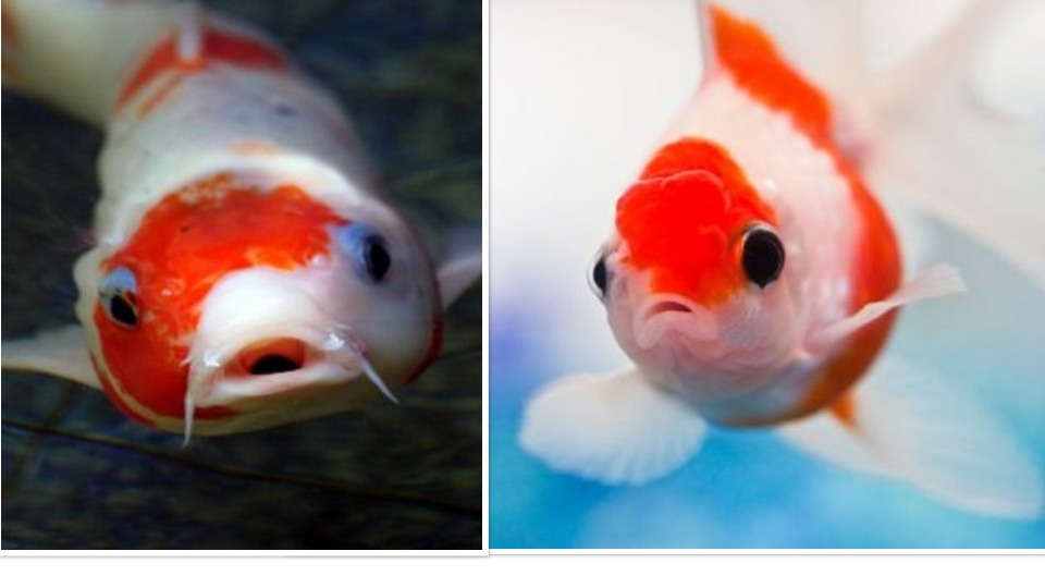 Will Koi Eat Goldfish And Other Smaller Fish Answered