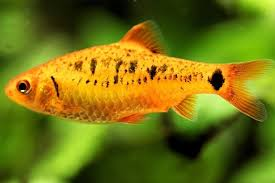 Golden Barb Fish