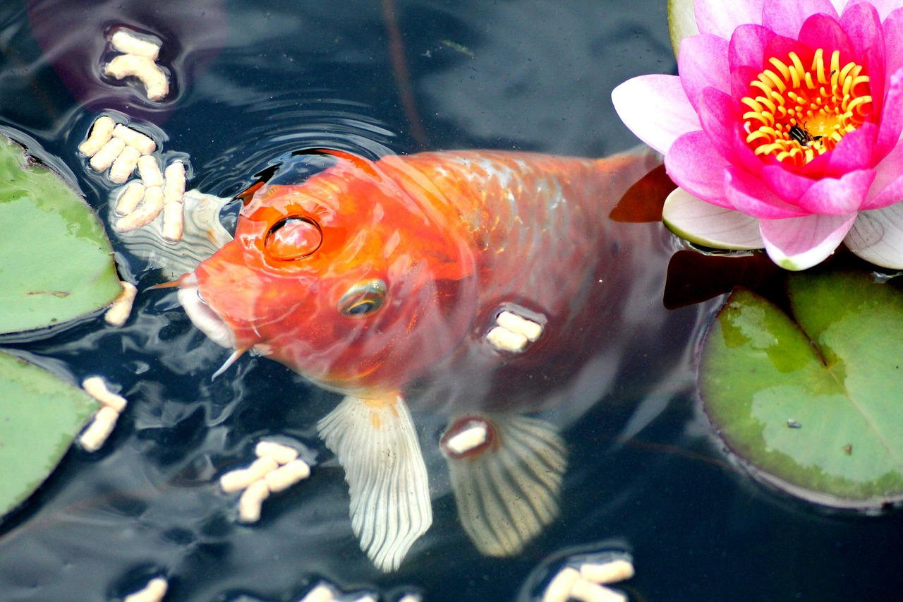 A Koi eating supplementary food