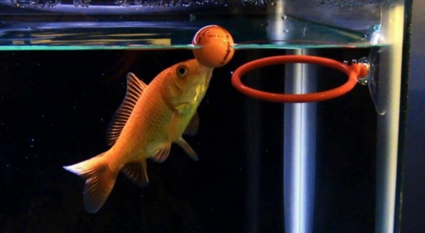 A Goldfish Playing With Hoops