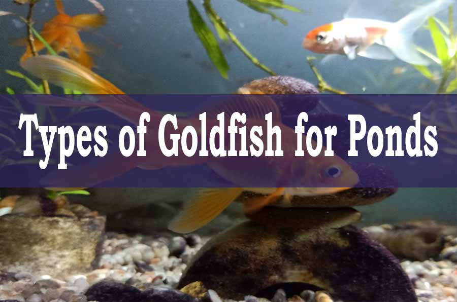Types of Goldfish For Pond