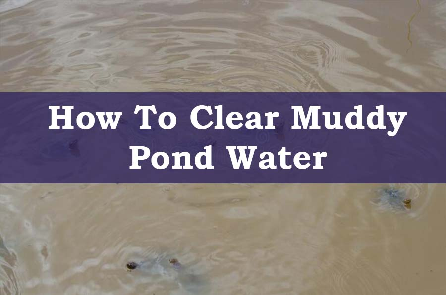 Turtles In Muddy Pond Water