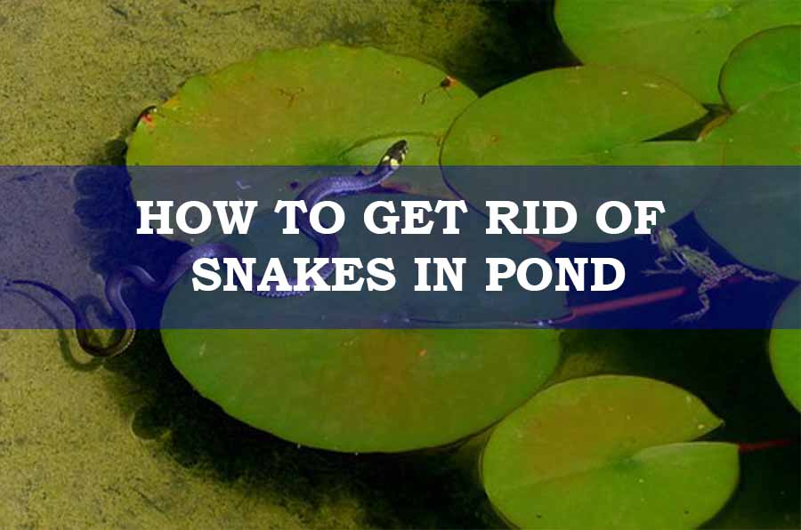 A snake in a pond
