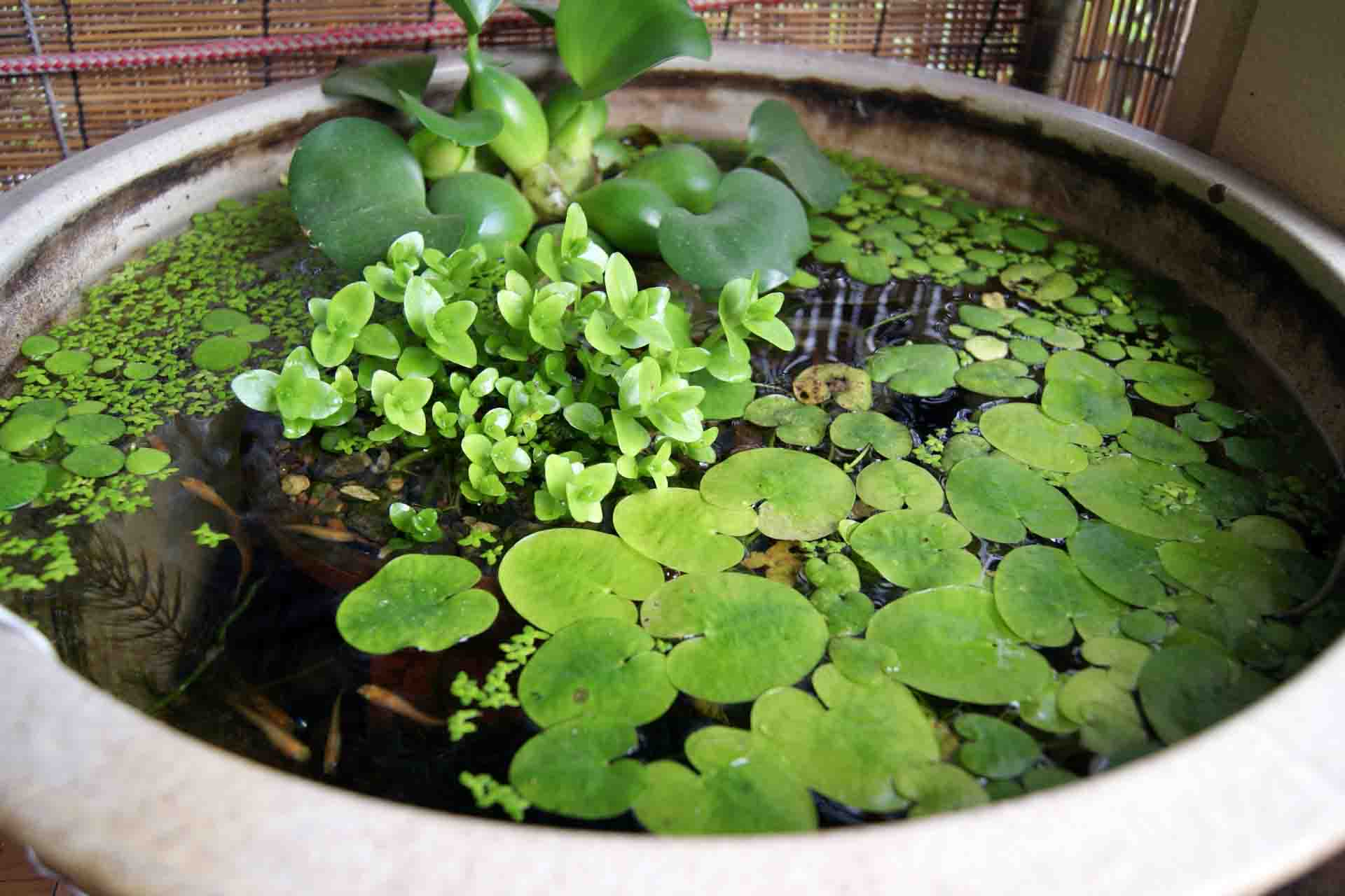 A nano pond with different pond plants.