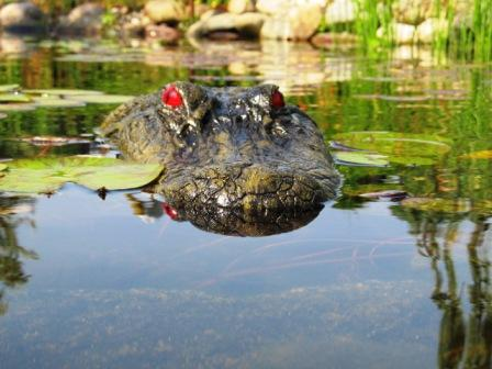 Alligator decoy in pond