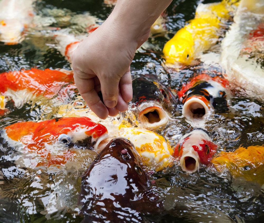 Feeding pond fish by hand.