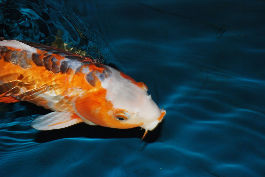 Rare Koi Fish