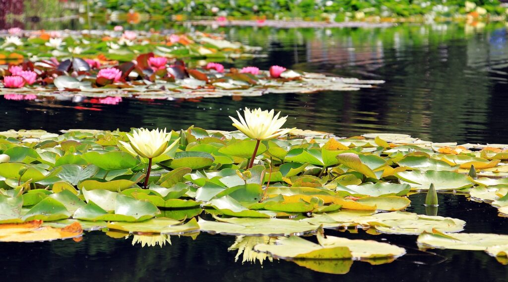 Clean garden pond free of scum